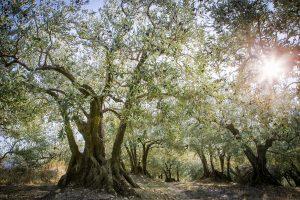 Oliviers en Drôme Provençale