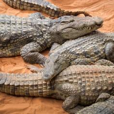 spécimens de crocodiles