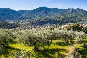 champ d'oliviers prés de Nyons