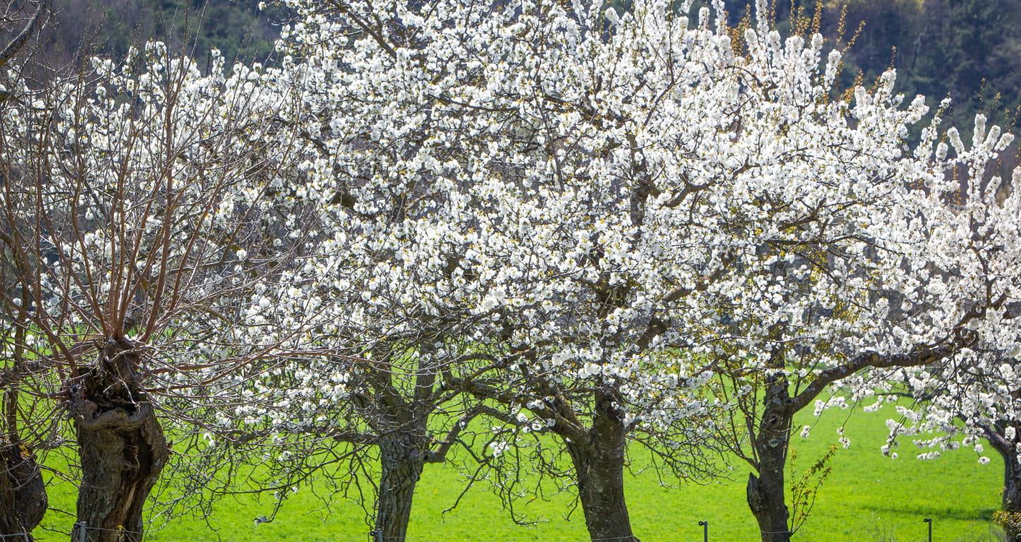 Cerisier en fleurs dans un verger de la Drôme
