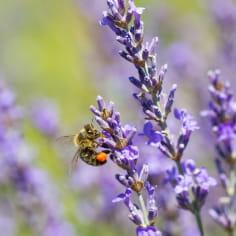 abeille sur lavande en fleurs