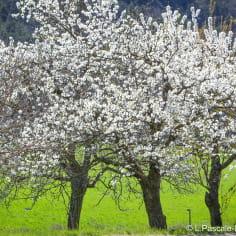Cerisiers en fleurs dans la Drôme