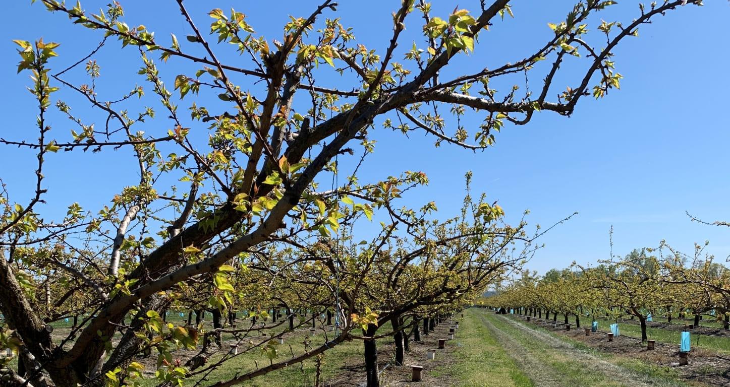 Arbres fruitiers dans la Drôme