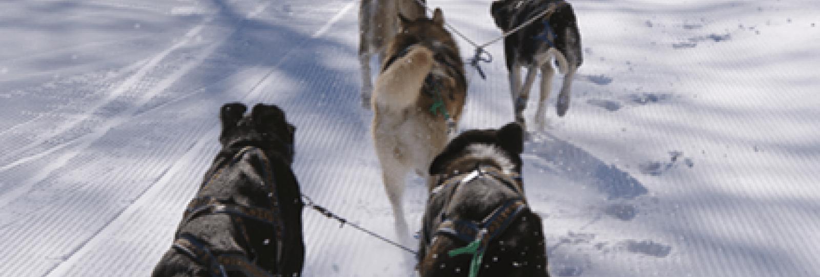 Découvrir le traineau à chiens