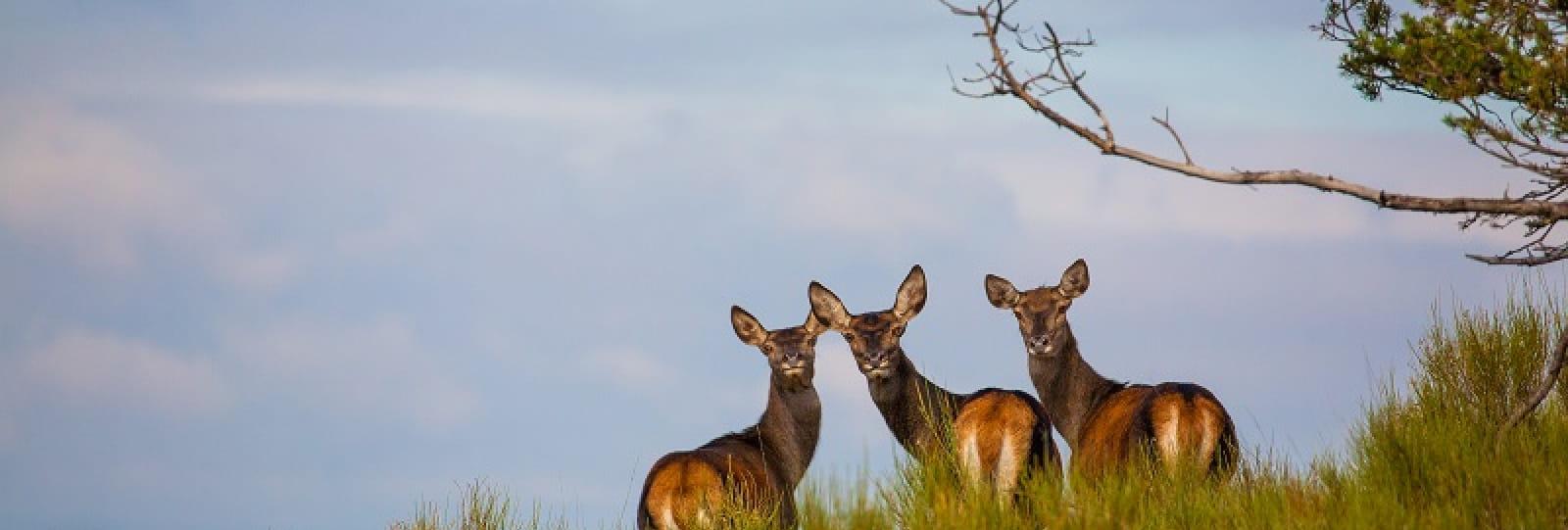 Randonnées à l'écoute du brâme du cerf