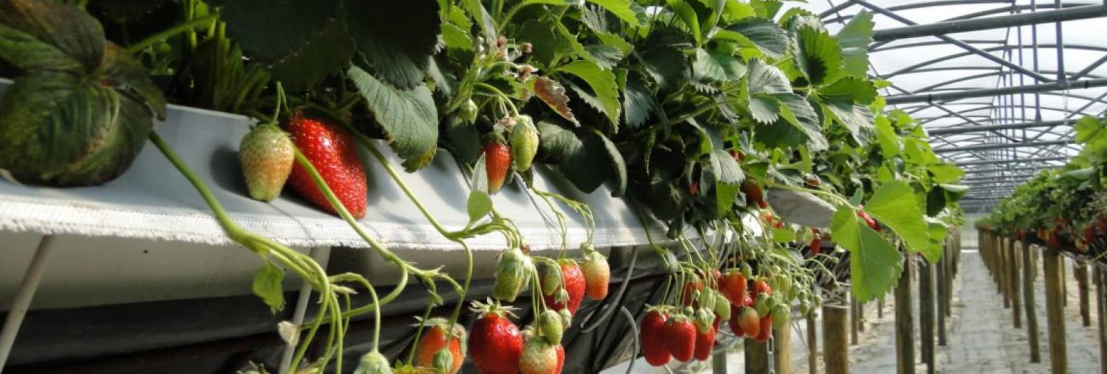 Les fraises_Aux délices de la ferme ardéchoise_Tournon sur Rhône