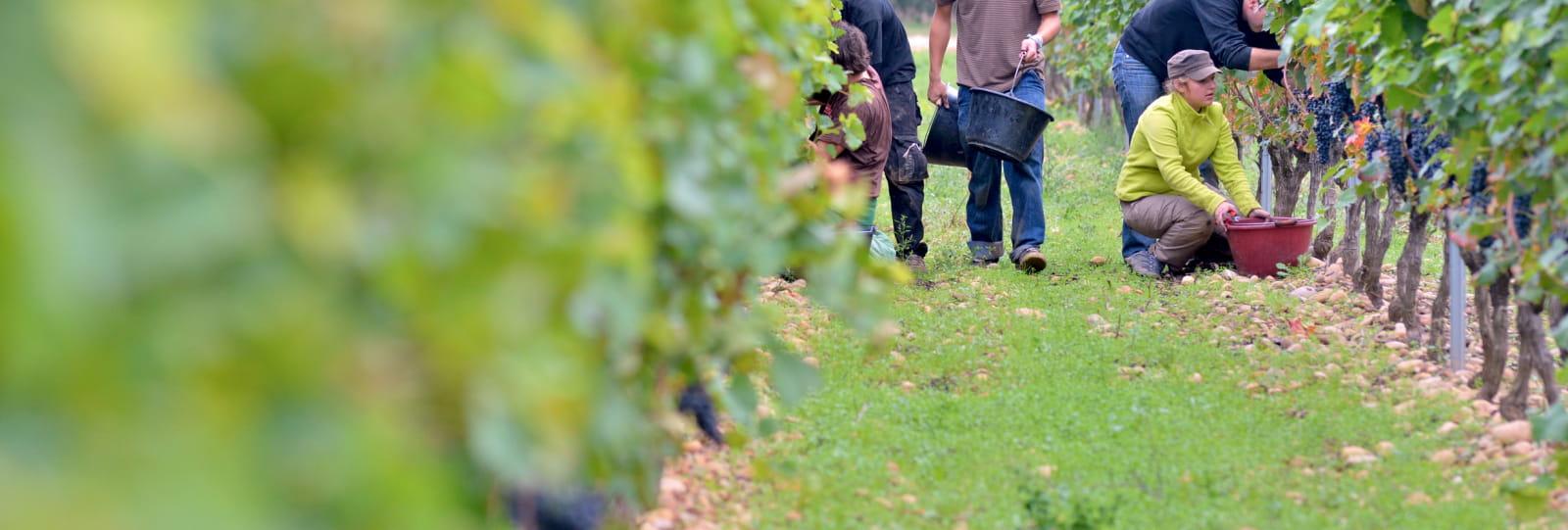 Vignes et Vendanges
