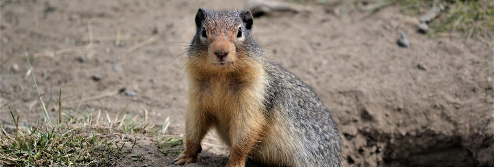 Marmotte es tu là ?