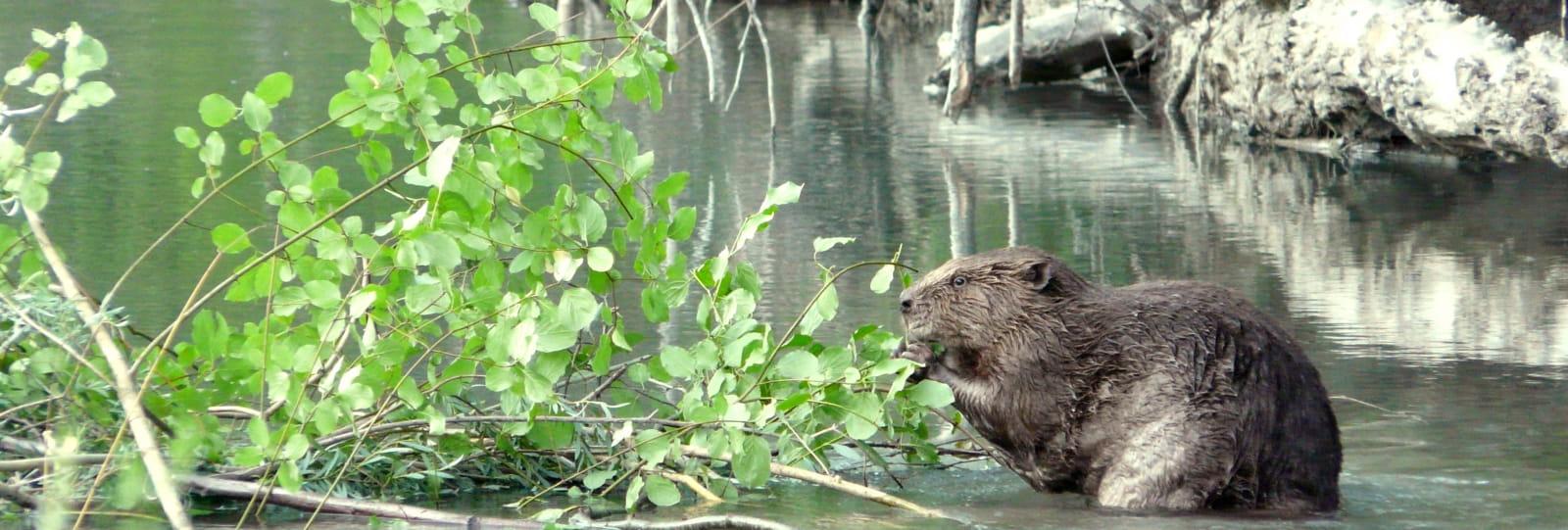 A l'affût du castor (Baladez curieux)