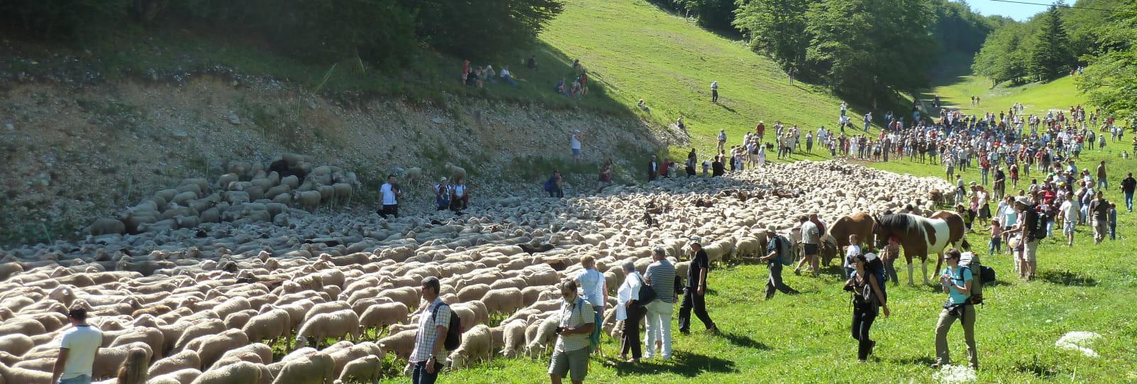 Le troupeau au col du Rousset