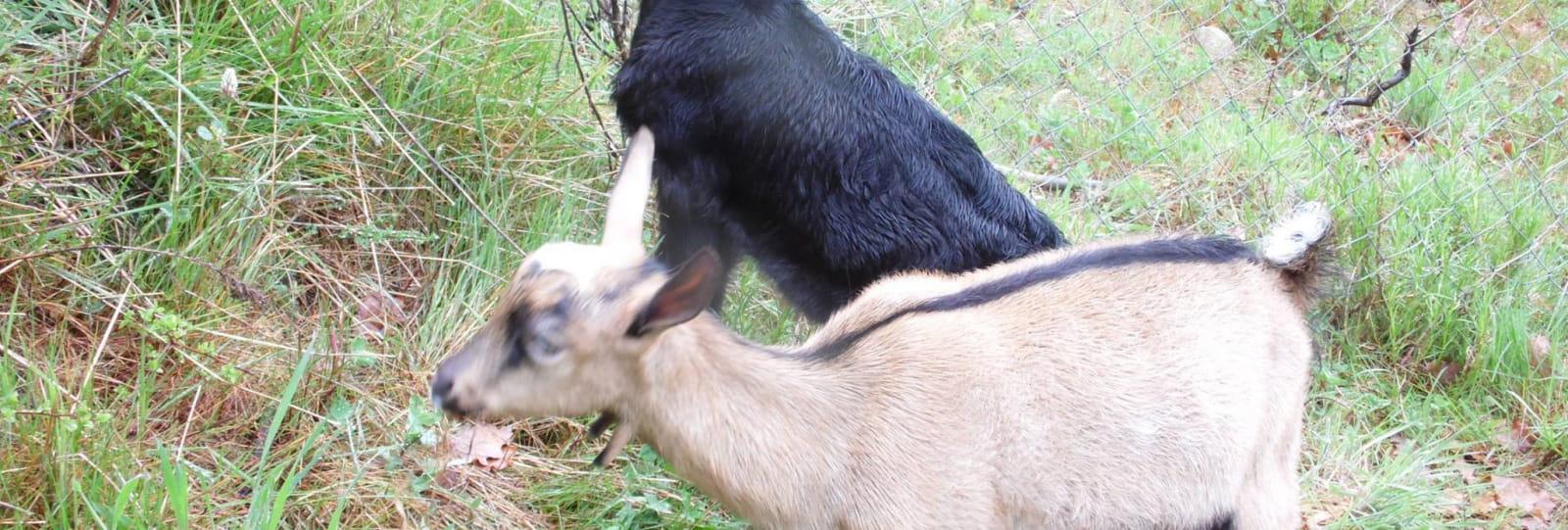 Chèvres _ Arlebosc