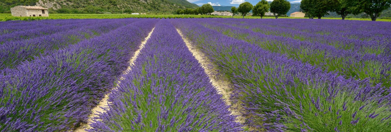 Découverte à pied et en voiture des Routes de la lavande en Drôme provençale
