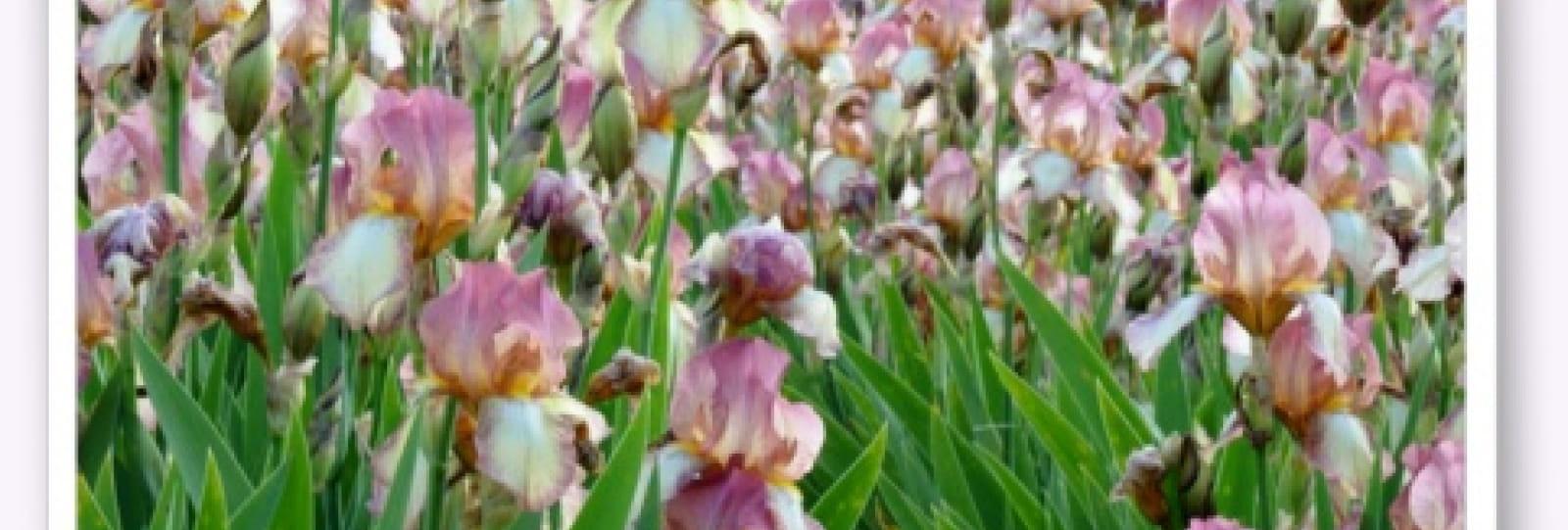 Iris et bulbes de la Garenne