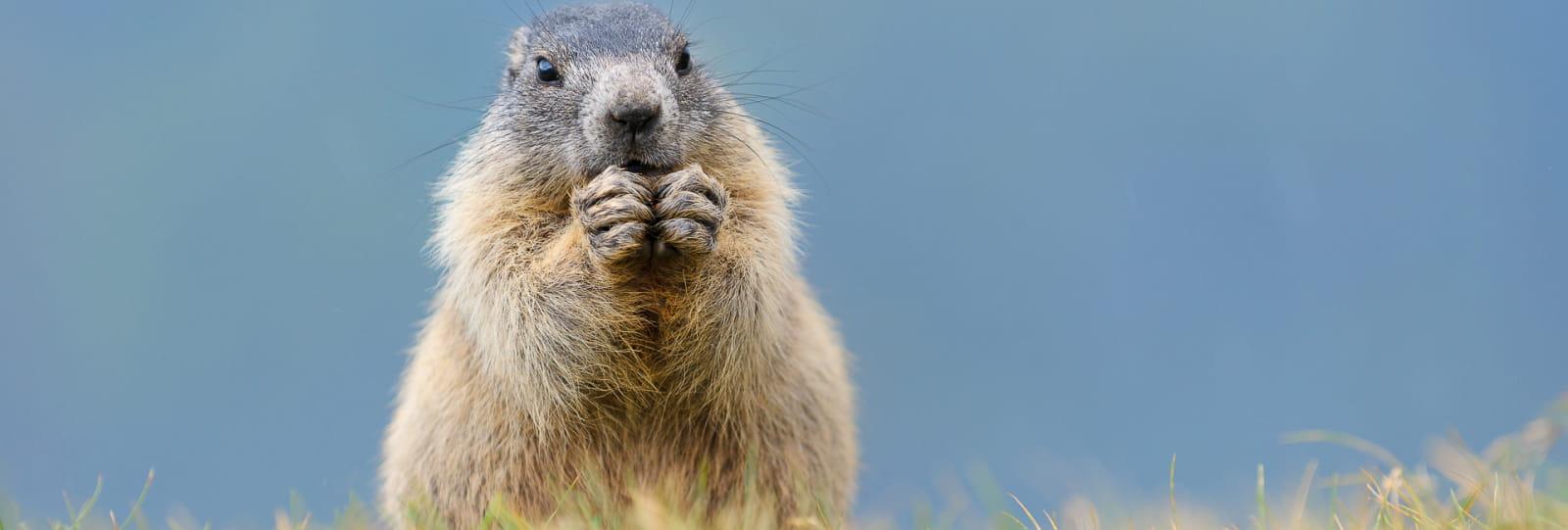 Rando - A la rencontre des marmottes (balade avec un âne) avec Vercors Escapade