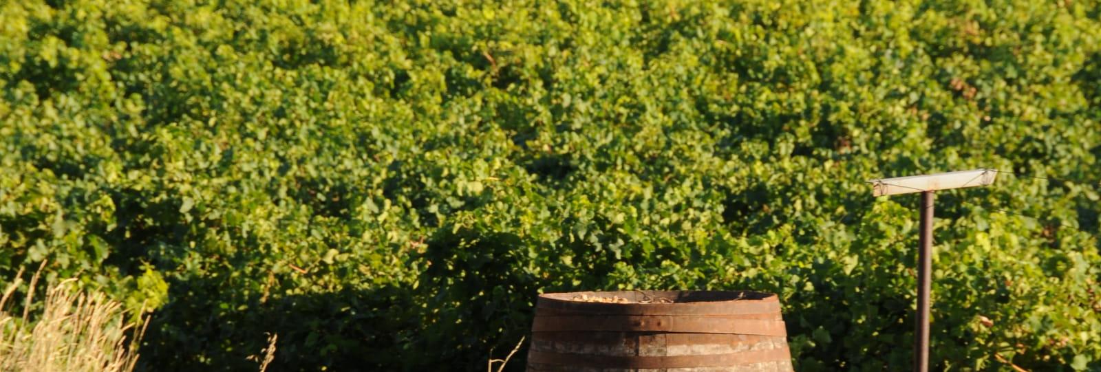 Vignoble - Domaine des Rosier
