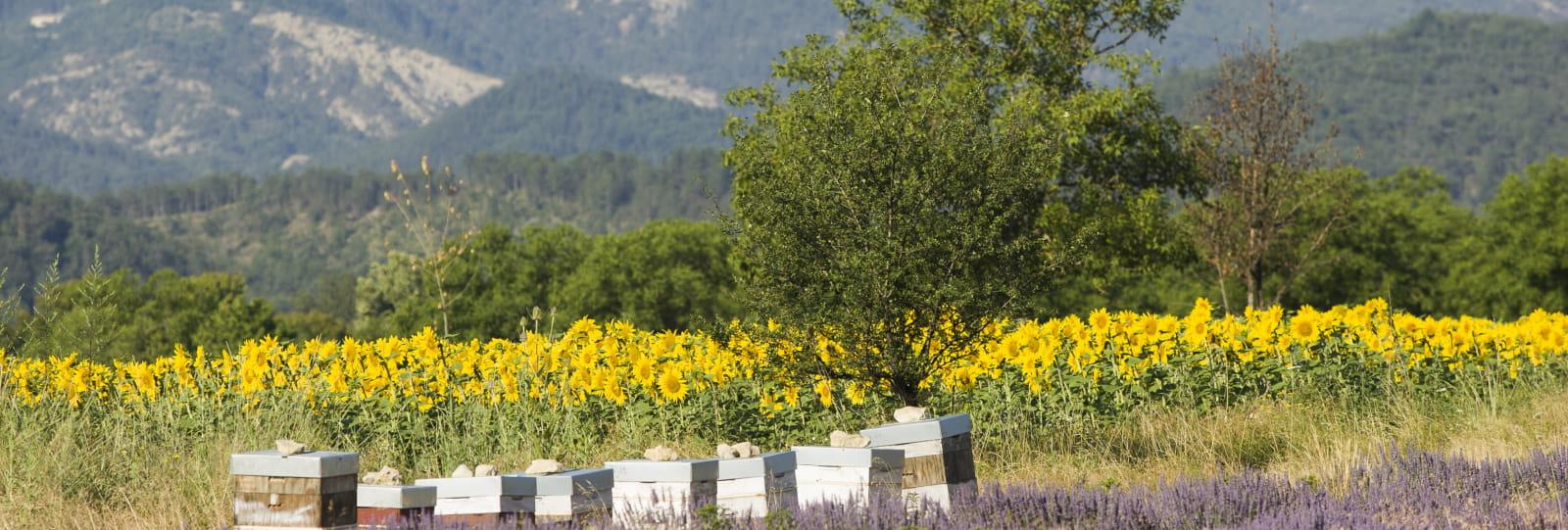 Diois nature et bien-être - ruches et lavande