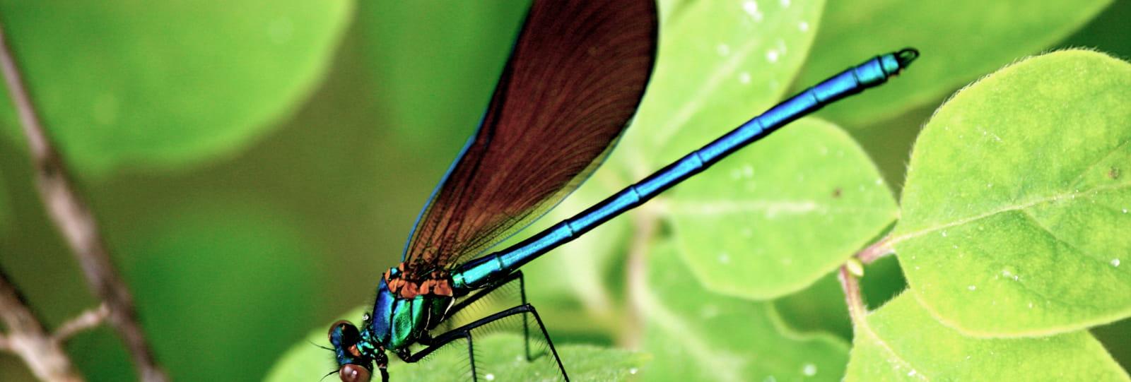 A la rencontre des libellules et demoiselles (Baladez curieux)