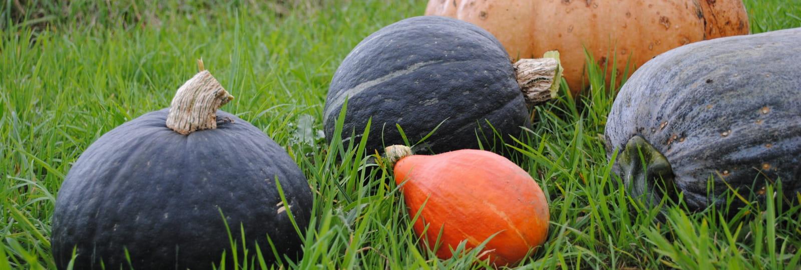 cucurbitaces la pature aux legumes - epinouze