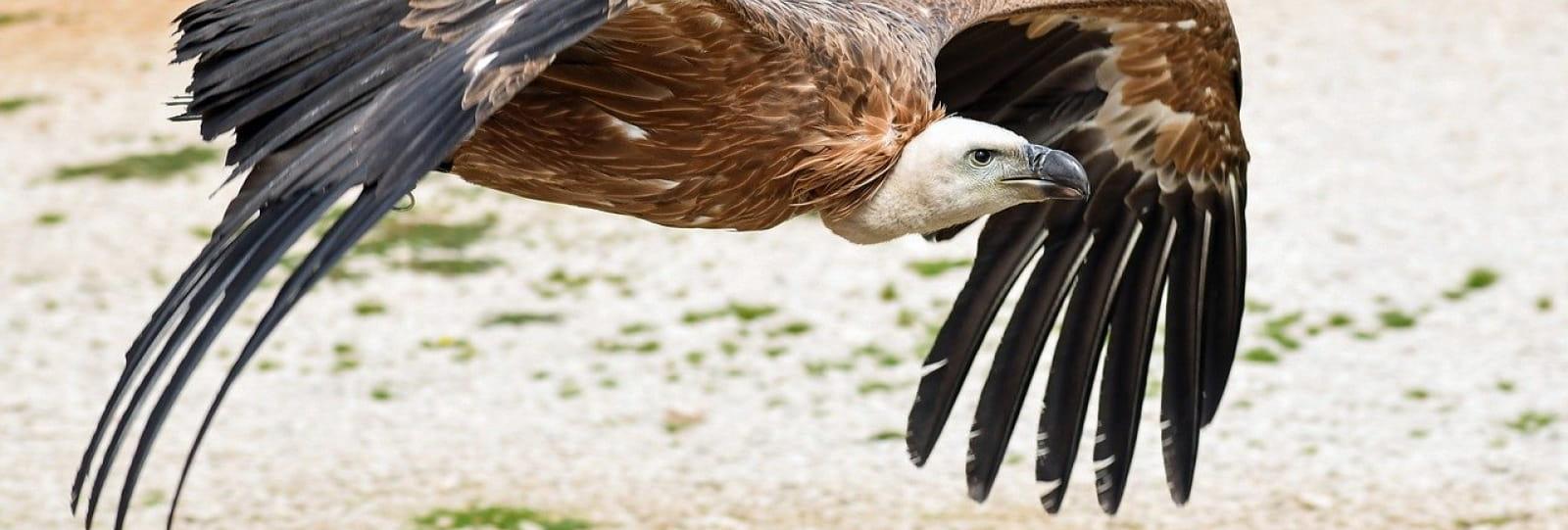 Randonnée 'Le vol des vautours vaut le détour !' avec Vercors Escapade