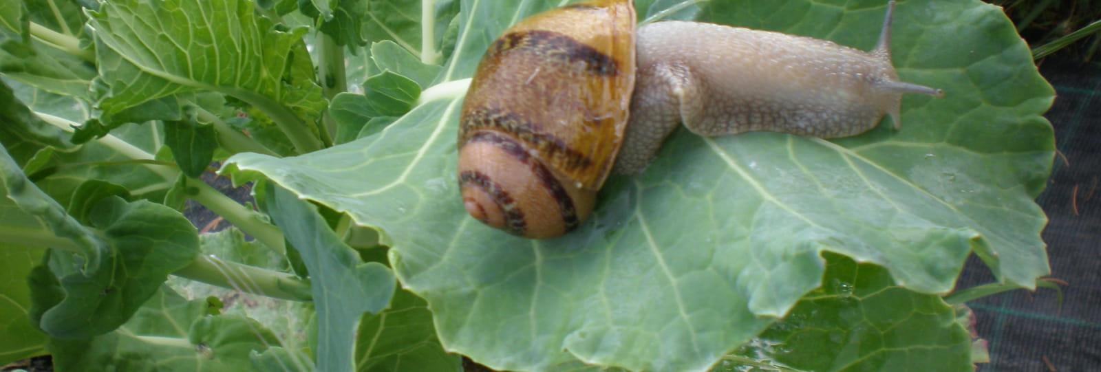 Escargots Saint Félicien