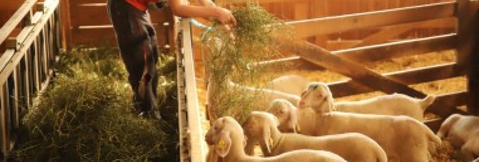 Dessine-moi une brebis: visite de la ferme