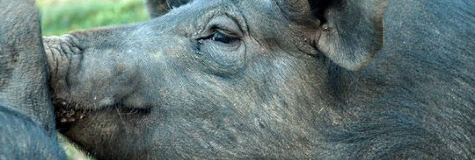 Rustic pig