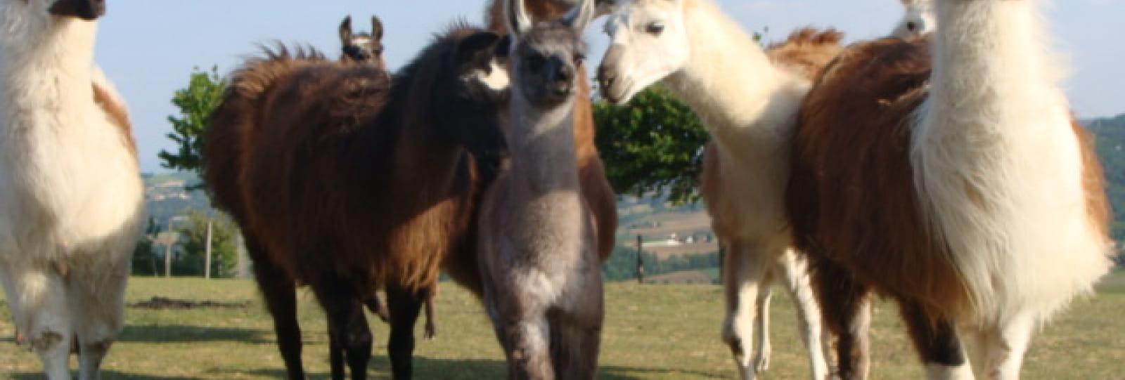Lamas des Plaines